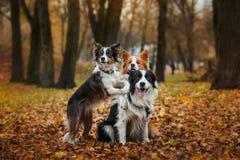 Race obéissante border collie de chien Portrait, automne, nature, tours, s'exerçant Photos stock
