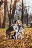 Race obéissante border collie de chien Portrait, automne, nature, tours, s'exerçant Images stock