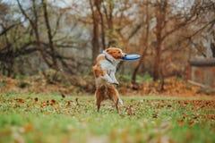Race obéissante border collie de chien Portrait, automne, nature, tours, s'exerçant Photographie stock libre de droits