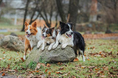 Race obéissante border collie de chien Portrait, automne, nature, tours, s'exerçant Image stock