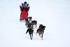 Race Of Draft Dogs Stock Photos