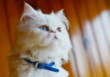 Race persane et de turc de Van cats de croix, couleur blanche et chat W photos stock