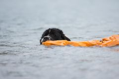 Race pure de chien de Landseer Photographie stock libre de droits