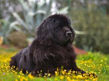 Race pure de chien de Landseer Photo stock