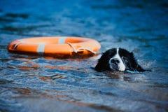 Race pure de chien de Landseer dans la formation de l'eau images libres de droits
