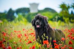 Race pure de chien de Landseer en fleur de champ de pavot photographie stock
