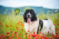 Race pure de chien de Landseer en fleur de champ de pavot photographie stock libre de droits