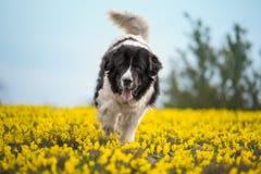 Race pure de chien de Landseer jouant le beau chiot d'amusement images libres de droits