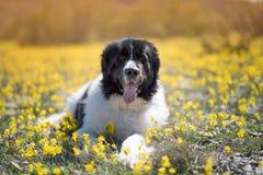 Race pure de chien de Landseer jouant le beau chiot d'amusement photographie stock