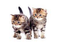 Race pure les anglais rayés de deux chatons d'isolement Images libres de droits