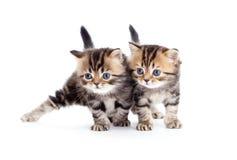 Race pure les anglais rayés de deux chatons d'isolement Images stock