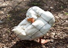 Race russe rare d'oie de toilettage Kholmogory Images libres de droits