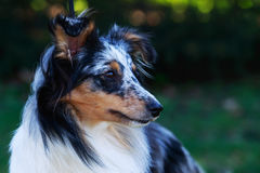 Race Sheltie de chien images stock