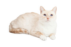 Race siamoise Cat Laying Looking Up de mélange Photos stock