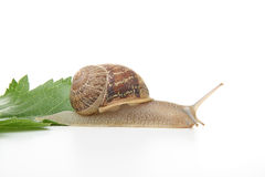Race snail Stock Photography