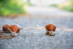 Race of Snails royalty free stock photos