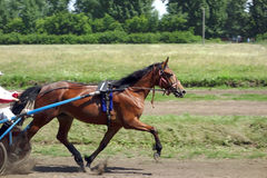 Race trotter Stock Photography