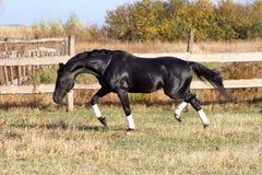 Race ukrainienne de cheval d'étalon Image libre de droits
