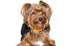 Race Yorkshire de chien Photo stock
