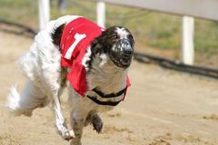 Racedog at full speed running during a dograce Stock Image