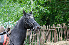 racehorse Arkivbild