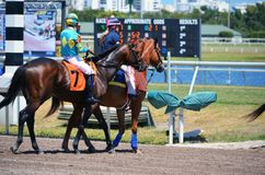 Racehorse Being Escorted to the Starting Gate. A four year old racehorse being escorted to the starting gate for a one mile race on turf at Gulfstream Park Royalty Free Stock Images