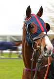 Racehorse. Blinkered colourful alert racehorse in parade ring Stock Images