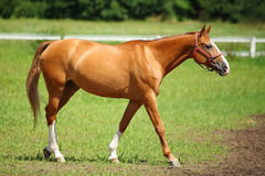 Racehorse chestnut. Horse outdoor racehorse single chestnut Royalty Free Stock Image
