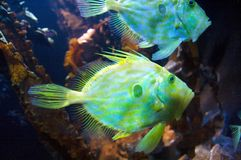 Racehorse fishes Royalty Free Stock Images