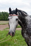 Racehorse head close-up. Face of a beautiful purebred racehorse Stock Photo