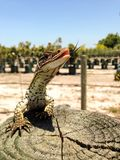 Racehorse lizard. Perfect shot of a racehorse lizard Royalty Free Stock Photos