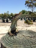 Racehorse lizard. Perfect shot of a racehorse lizard Stock Image