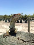 Racehorse lizard. Perfect shot of a racehorse lizard Stock Photos