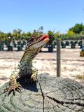 Racehorse lizard. Perfect shot of a racehorse lizard Stock Images