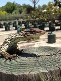 Racehorse lizard Royalty Free Stock Photos