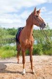 Racehorse outdoor. Stallion on the nature Royalty Free Stock Photos