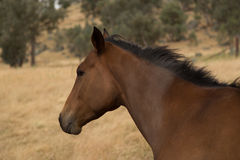Racehorse Royalty Free Stock Photography