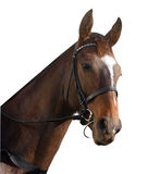 Racehorse Portrait. Racehorse isolated with clipping path Royalty Free Stock Images