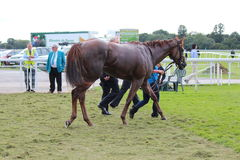 Racehorse After the Race, York Races, August 2015. Royalty Free Stock Image