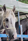 Racehorses on the Truck Royalty Free Stock Photos
