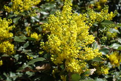 Raceme of bright yellow flowers of holly grape Royalty Free Stock Photo