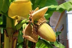 Raceme della palma della banana Immagini Stock