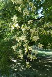 Raceme of flowers of Styphnolobium japonicum. Raceme of white flowers of Styphnolobium japonicum Stock Photography