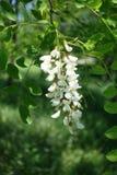 Raceme of white flowers of Robinia pseudoacacia. Tree Stock Photo