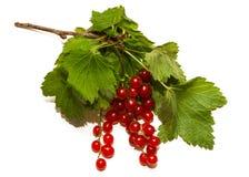 2 racemes ягод красной смородины Стоковые Изображения RF