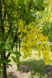 Racemes av guld- blommor av gullregnanagyroides Arkivfoto