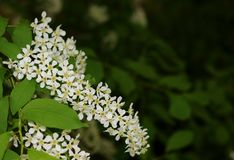 Blossoms bird cherry branch stock images
