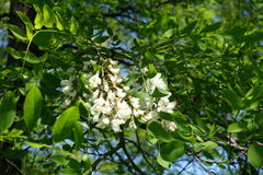 Racemes of flowers of Robinia pseudoacacia. Racemes of white flowers of Robinia pseudoacacia Stock Photo
