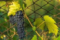 Racemo dell'uva nera Fotografie Stock Libere da Diritti