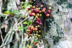 Racemosa фикуса в лесе зрело стоковое изображение rf